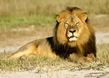 Cecil the lion - laying down