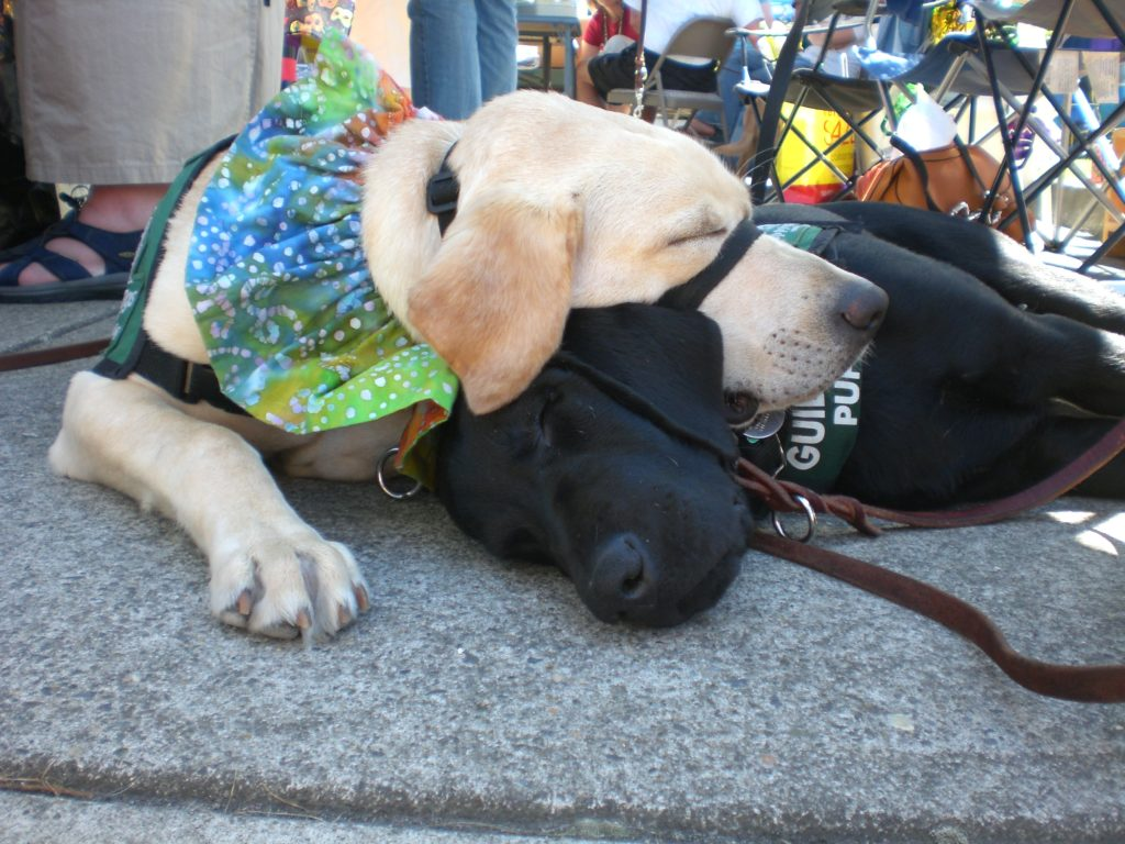 """Fantasia with Andera -2nd Litter Puppy at """"Fun Day"""" - Guide Dog Campus in Oregon"""